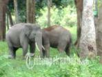 bksda-riau-pantau-perkawinan-gajah_20181014_221314.jpg