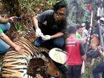breaking-news-harimau-sumatera-yang-terjerat-di-konsesi-hti-pt-rapp-dievakuasi-ke-prhsd-sumbar-1.jpg