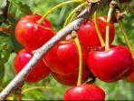 buah-chery-yang-manis.jpg