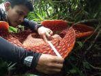bunga-rafflesia-di-kabupaten-agam.jpg