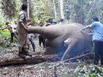 ditemukan_mati_dalam_kondisi_terpenggal_di_kelayang_potongan_kepala_gajah_dibawa_ke_pekanbaru.jpg