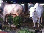 dua-ekor-sapi-kurban-sumbangan-sby-dan-boediono.jpg