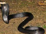 equatorial-spitting-cobra-sakag-satu-ular-kobra-paling-mematikan.jpg