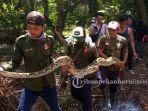 evakuasi-ular-piton-di-kawasan-perkebunan.jpg
