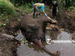 foto_beginilah_proses_nekropsi_gajah_dita_yang_mati_di_sm_balai_raja_kabupaten_bengkalis_riau_1.jpg