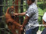 foto_mengisi_liburan_di_kasang_kulim_zoo_pekanbaru_6_orangutanjpg.jpg