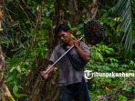foto_panen_kelapa_sawit_di_pekanbaru_kebun_sawit_4.jpg
