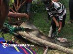 foto_pemotongan_hewan_kurban_di_rumbai_pesisir_pekanbaru_berlangsung_lancar_3.jpg
