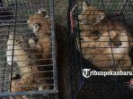 foto_penyelundupan_singa_leopard_dan_orangutan_digagalkan_di_pekanbaru_1.jpg