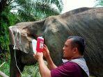 gajah-betina-kurus.jpg