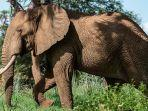 gajah-gajah-mengamuk.jpg