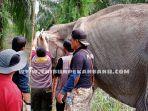 gajah-kurus-di-tntn-inhu.jpg<pf>gajah-sakit-di-tntn-inhu1.jpg<pf>gajah-betina-sakit-di-tntn-inhu.jpg