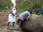 gajah-sumatera-ditemukan-mati-di-kawasan-hutan-tanaman-industri-hti-pt-arara-abadi.jpg