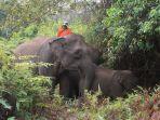 gajah_jinak_di_tntn_stres_kebakaran_hutan_di_riau_karhutla_terpaksa_diungsikan.jpg