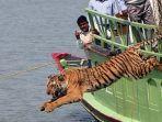 harimau-benggala-di-india-dilepaskan-ke-habitatnya.jpg