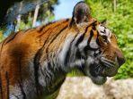 harimau-ilustrasi-1.jpg