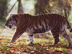 harimau-ilustrasi-3.jpg
