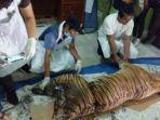 harimau-mati-di-pasaman-diperiksa-petugas-medis-bbksda.jpg