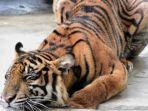 harimau-sumatera-corina.jpg