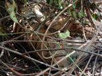 harimau-sumatera-ditemukan-mati.jpg