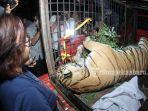 harimau-sumatera-mati-terkena-jerat-di-perbatasan-desa-muara-lembu-dibawa-ke-bbksda-riau_20180926_221158.jpg