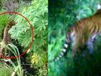 harimau-sumatera-muncul-di-desa-teluk-lanus-kabupaten-siak.jpg