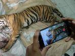 harimau-sumatera-panthera-tigris-sumatrae-ditemukan-mati-di-area-konsesi-pt-arara-abadi-di-siak.jpg