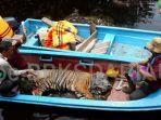 harimau-sumatera-terkena-jerat-di-pelalawan.jpg