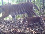 harimau-sumatera-terpantau-kamera-bbksda-riau-dan-wwf_20180729_122900.jpg
