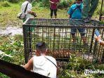 harimau-sumatera-tertangkap-di-korong-surantiah-koto-buruak.jpg