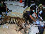 harimau-sumatera-yang-mati-di-kawasan-hti-di-kabupaten-siak-menjalani-nekropsi-di-bbksda-riau.jpg