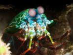 harlequin-mantis-shrimp_20170124_193235.jpg