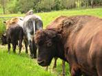 hasil-kawin-silang-antara-sapi-australia-dengan-kerbau-amerika.jpg