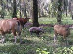induk-sapi-saat-sedang-bermain-dengan-anak-babi.jpg