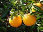 jeruk-australia.jpg