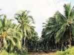 kebun-kelapa-di-inhil.jpg
