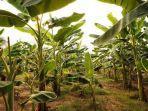 kebun-pisang-ilustrasi-manfaat-pohon-pisang.jpg
