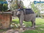 kisah-valentine-gajah-sumatera-betina-di-kasang-kulim-zoo-pekanbaru-derita-di-masa-wabah-covid-19.jpg