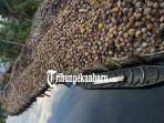 komoditi-kelapa-di-inhil-mulai-ditinggalkan-petani-bahkan-ada-petani-yang-pilih-jadi-tki.jpg