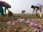 ladang-saffron-dari-bunga-crocus-sativus-linneaus_20180728_091538.jpg