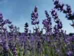 lavender_20160112_001947.jpg
