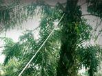 memanen-buah-sawit-pohon-sawit_20180406_155842.jpg