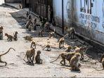 monyet-di-kota-lopburi.jpg