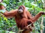 orangutan-sumatera-1.jpg