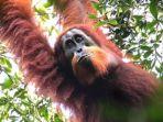 orangutan-sumatera_20171103_153631.jpg