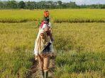 panen-raya-di-456-hektar-sawah-rezita-meylani-yopi-kuala-cenaku-lumbung-padi-ketahanan-pangan-inhu1.jpg