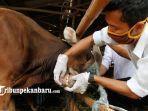 pemeriksaan-kesehatan-hewan-kurban-di-pekanbaru-1.jpg