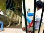 penjaga-kebun-binatang-diterkam-oleh-singa.jpg