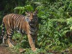 peresmian-pusat-rehabilitasi-harimau-sumatera-prhsd_20180311.jpg