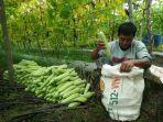 petani-ini-melakukan-panen-pare-di-lahan-seluas-setengah-hektar_20170130_091622.jpg